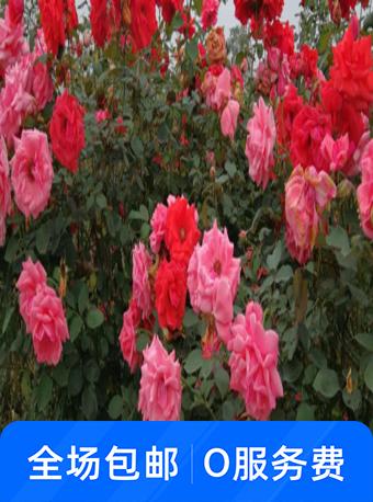 七朵玫瑰园