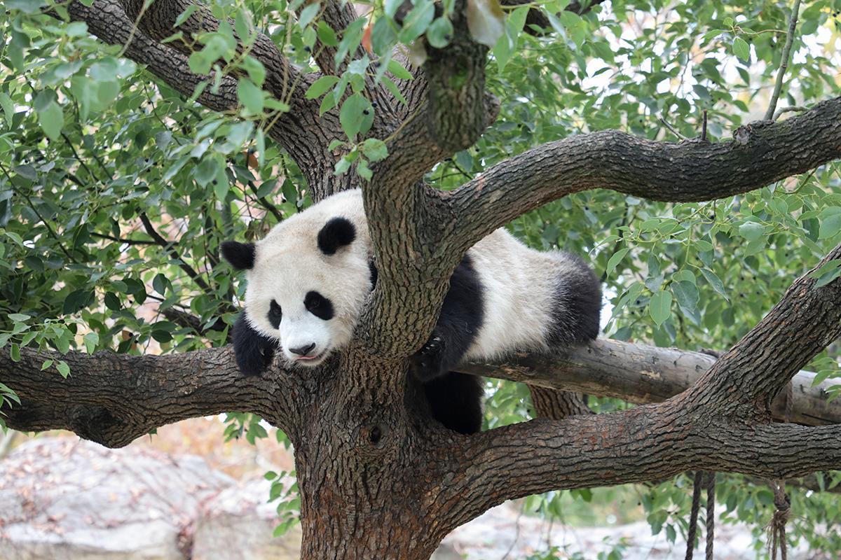 上海野生动物园大熊猫馆